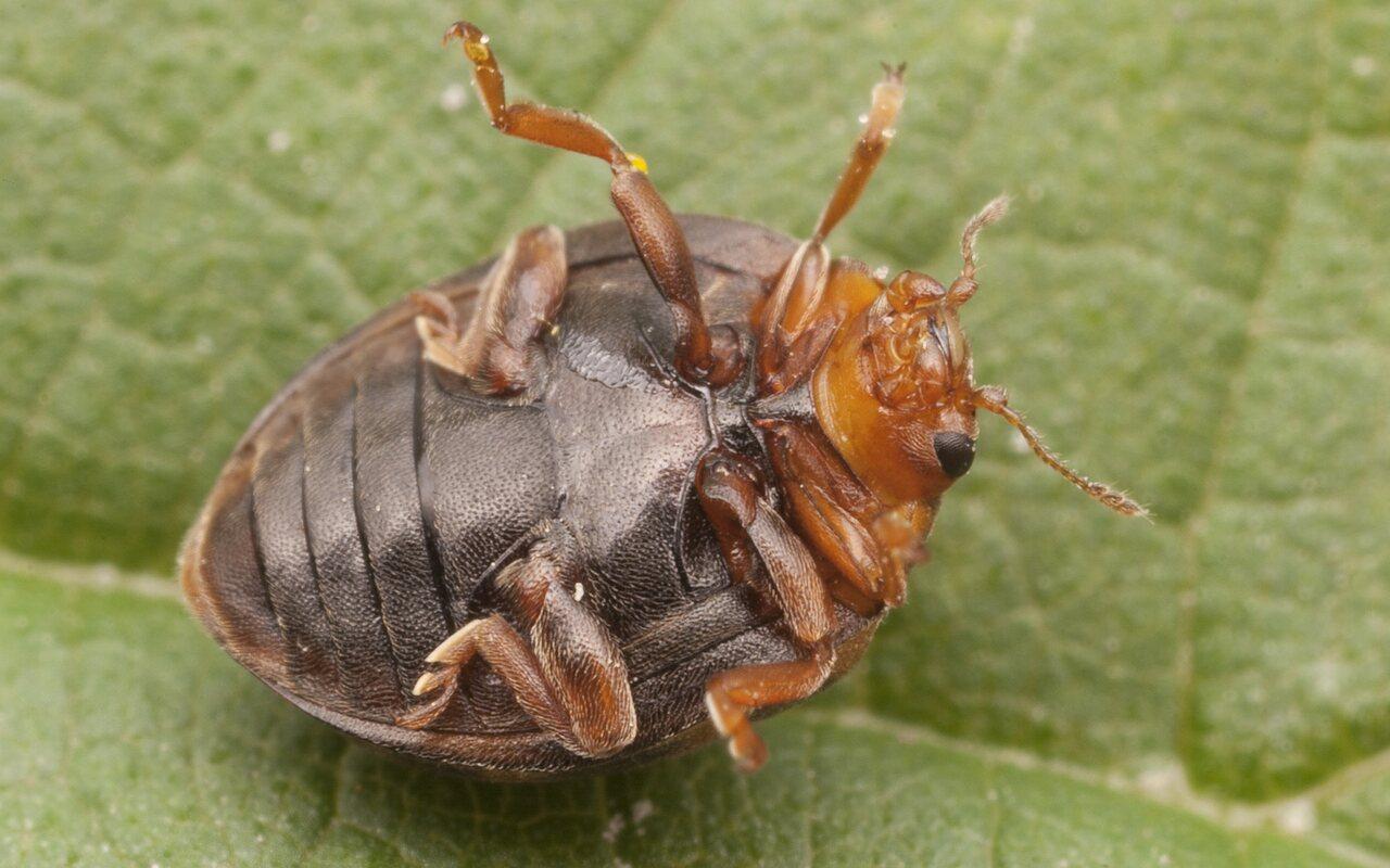 Subcoccinella-vigintiquatuorpunctata-2572.jpg