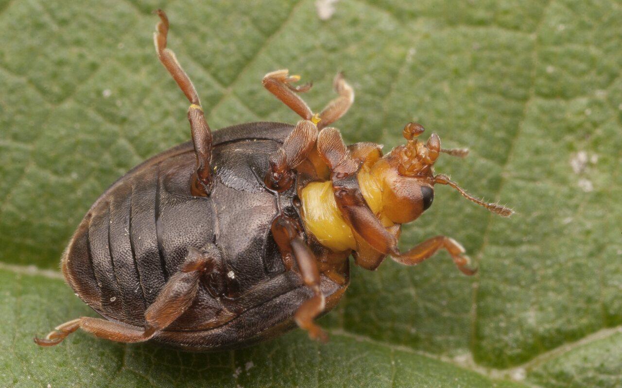 Subcoccinella-vigintiquatuorpunctata-2573.jpg
