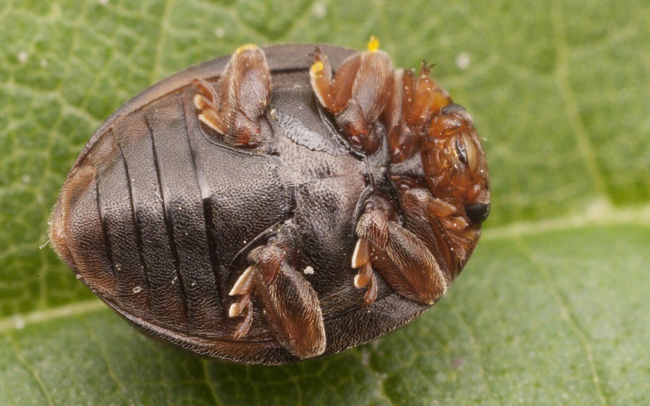 Subcoccinella-vigintiquatuorpunctata-2574.jpg