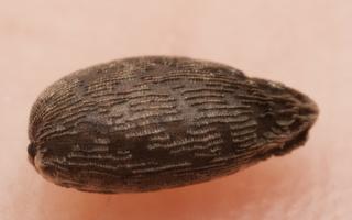 Impatiens parviflora, seed · smulkiažiedė sprigė, sėkla