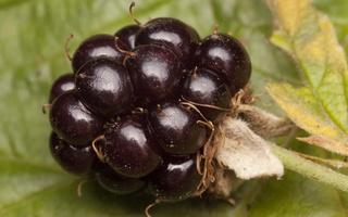 Rubus plicatus fruit · raukšlėtoji gervuogė, vaisius