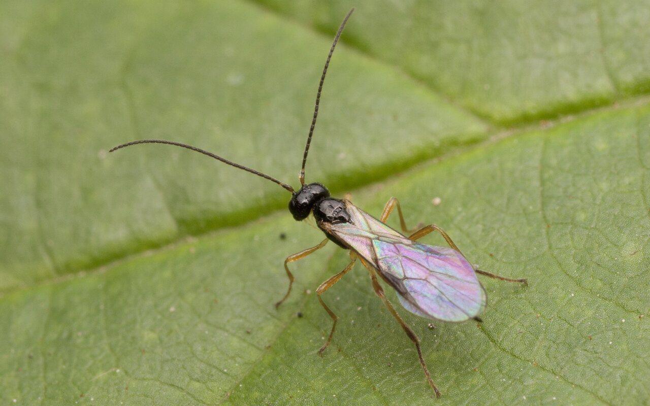 Hymenoptera-2592.jpg