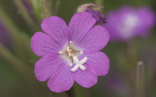 Epilobium hirsutum · plaukuotoji ožkarožė