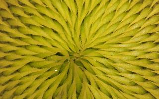 Helianthus annuus · paprastoji saulėgrąža