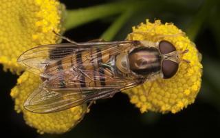 Episyrphus balteatus female · žiedmusė ♀