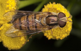 Episyrphus balteatus · žiedmusė
