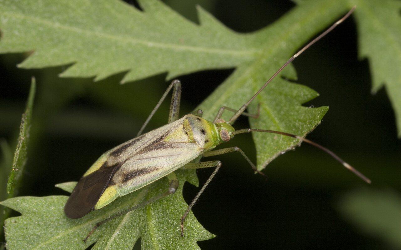 Adelphocoris-quadripunctatus-2629.jpg