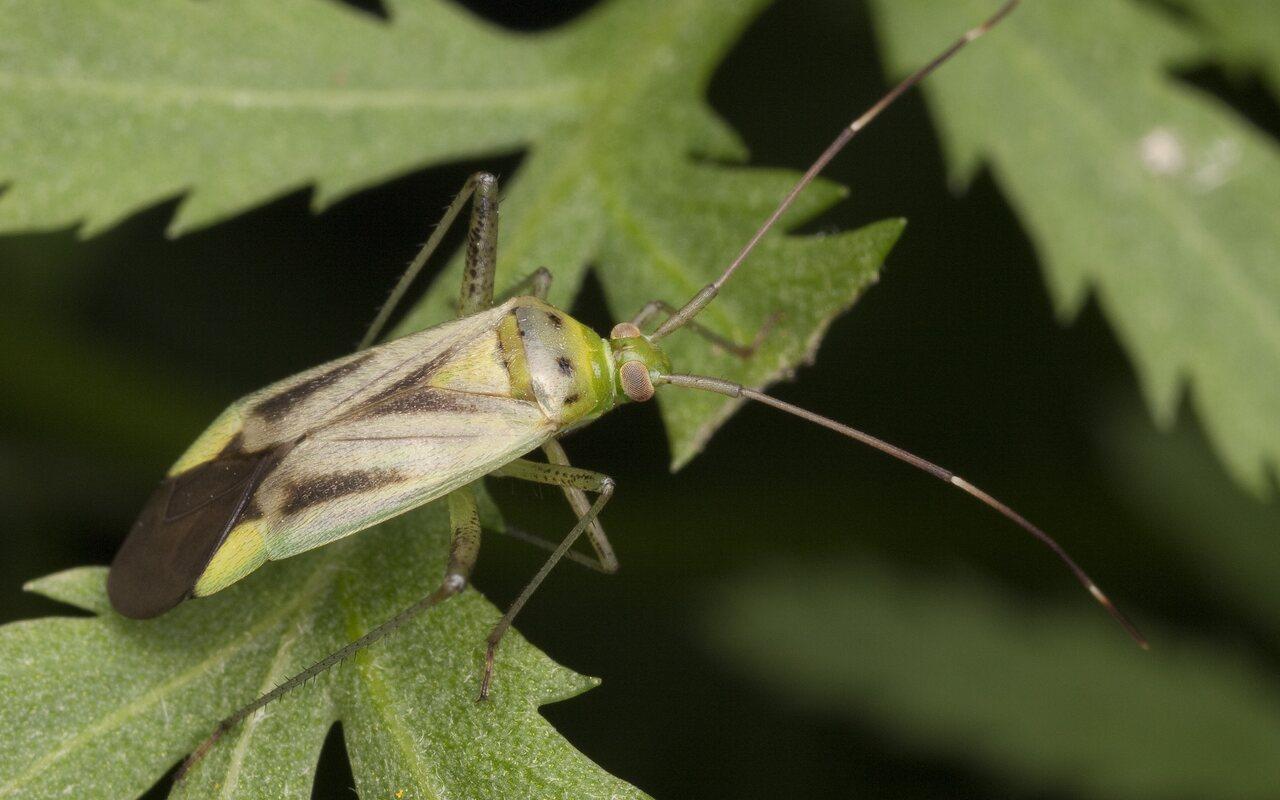 Adelphocoris-quadripunctatus-2630.jpg