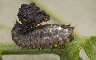 Cassida denticollis larva · kietinis skydinukas, lerva