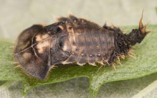 Cassida denticollis pupa · kietinis skydinukas, lėliukė