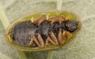 Cassida denticollis · kietinis skydinukas