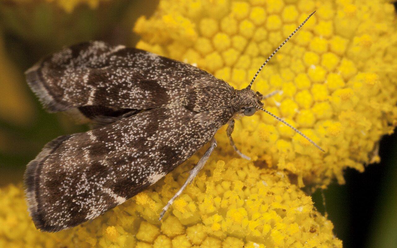Anthophila-fabriciana-2650.jpg