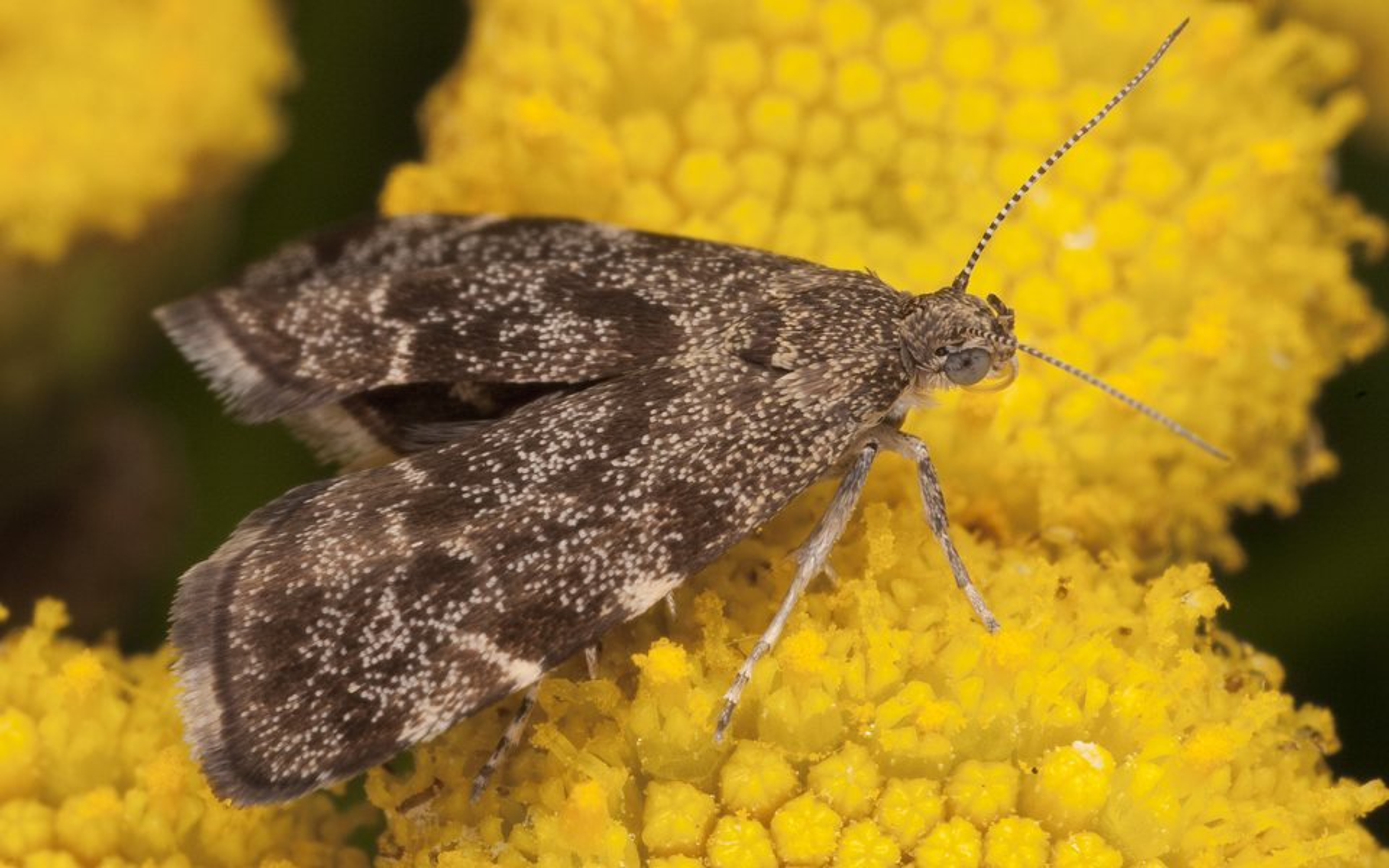 Anthophila-fabriciana-2651.jpg