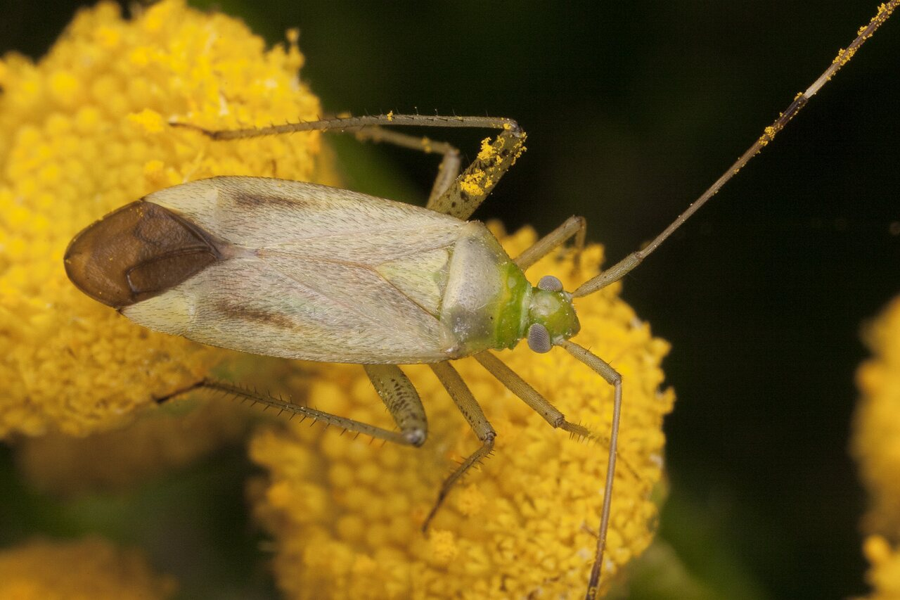 Adelphocoris-quadripunctatus-2654.jpg