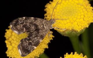 Anthophila fabriciana · dilgėlinė lapsukinė kandis