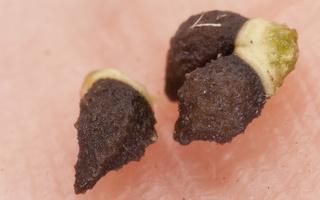 Echium vulgare, seeds · paprastasis ežeinis, sėklos