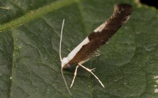 Argyresthia albistria · slyvinė sidabrakandė