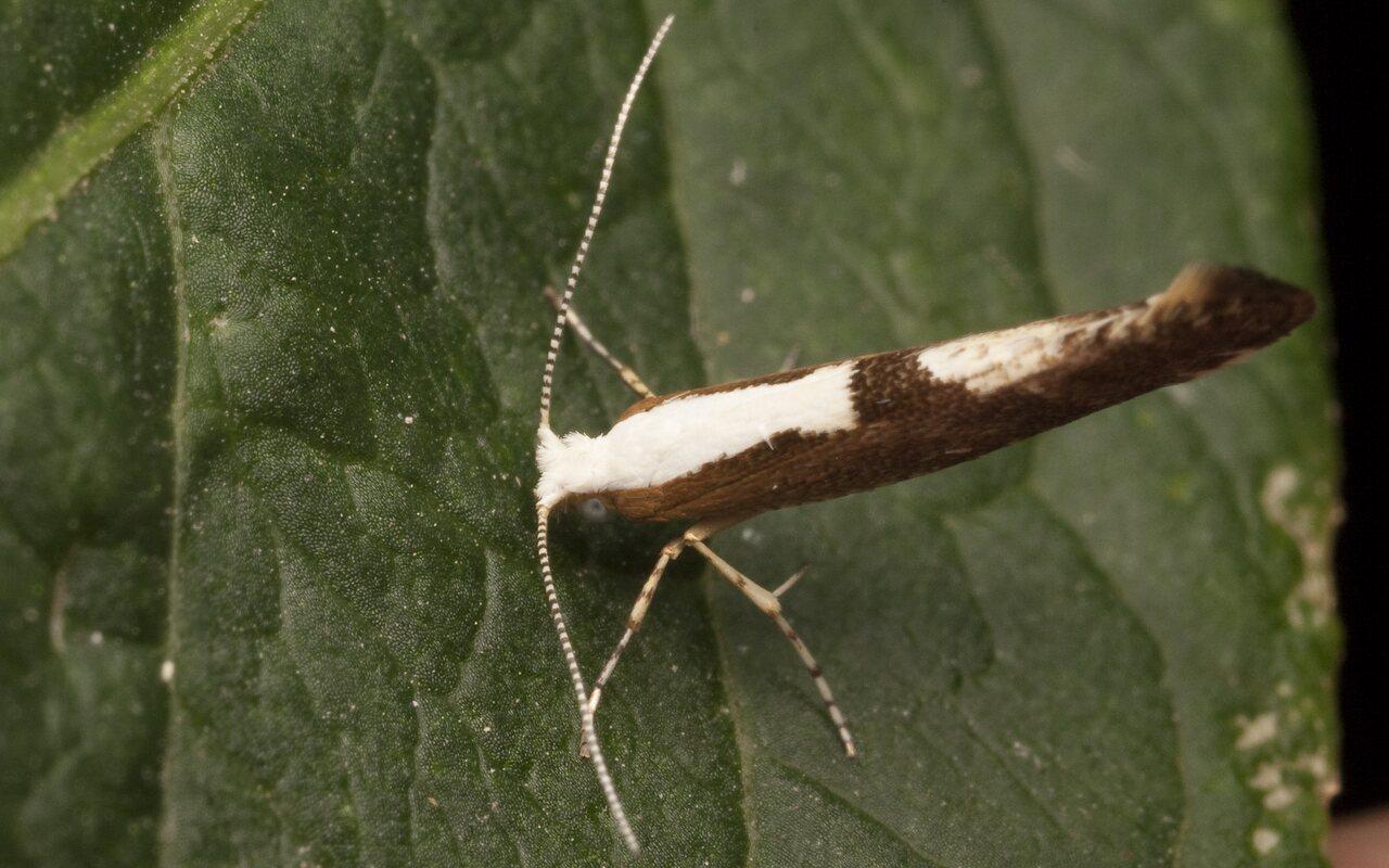 Argyresthia-albistria-2679.jpg