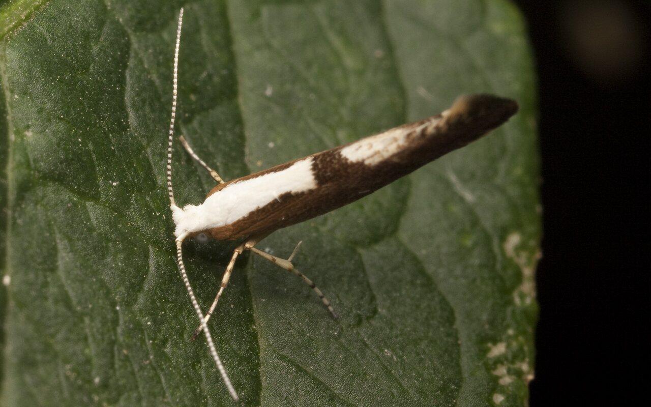 Argyresthia-albistria-2680.jpg