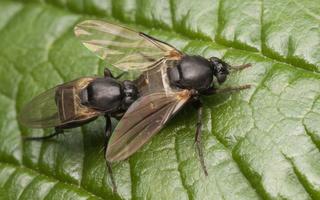 Peromitra sp. mating · kupramusės poruojasi