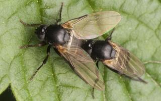 Phoridae · kupramusės