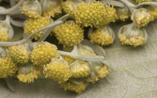 Artemisia absinthium · pelynas
