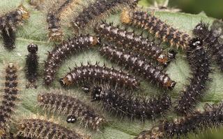 Aglais urticae, young caterpillars · dilgėlinukas, jauni vikšrai