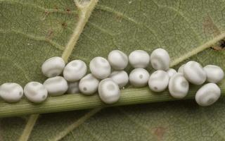 Euthrix potatoria eggs · pievinis verpikas, kiaušinėliai