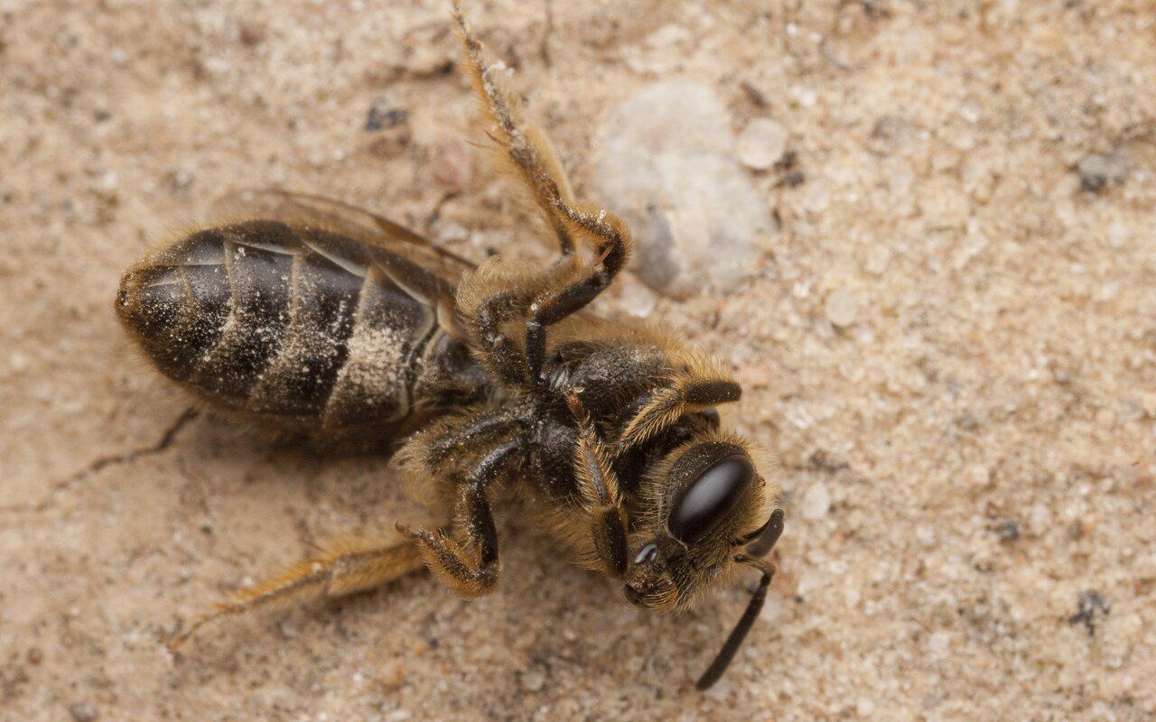 Apidae-2695.jpg