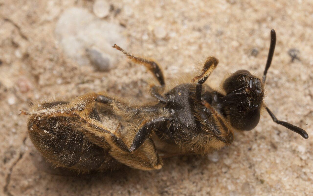 Apidae-2696.jpg
