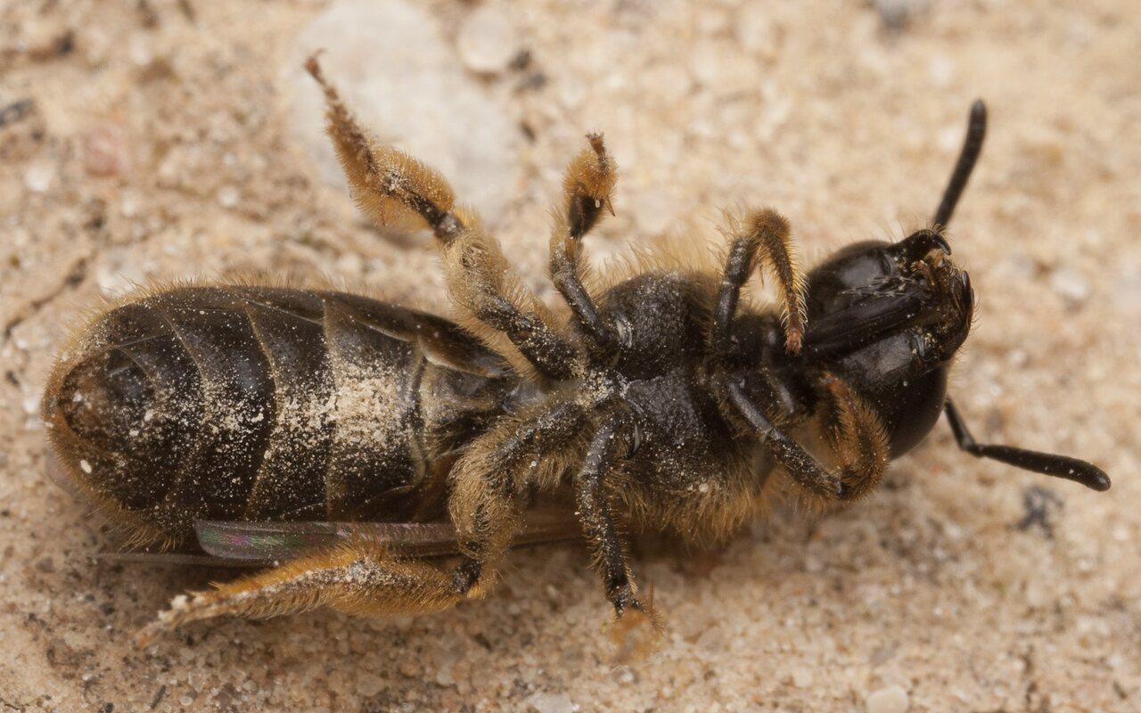 Apidae-2697.jpg