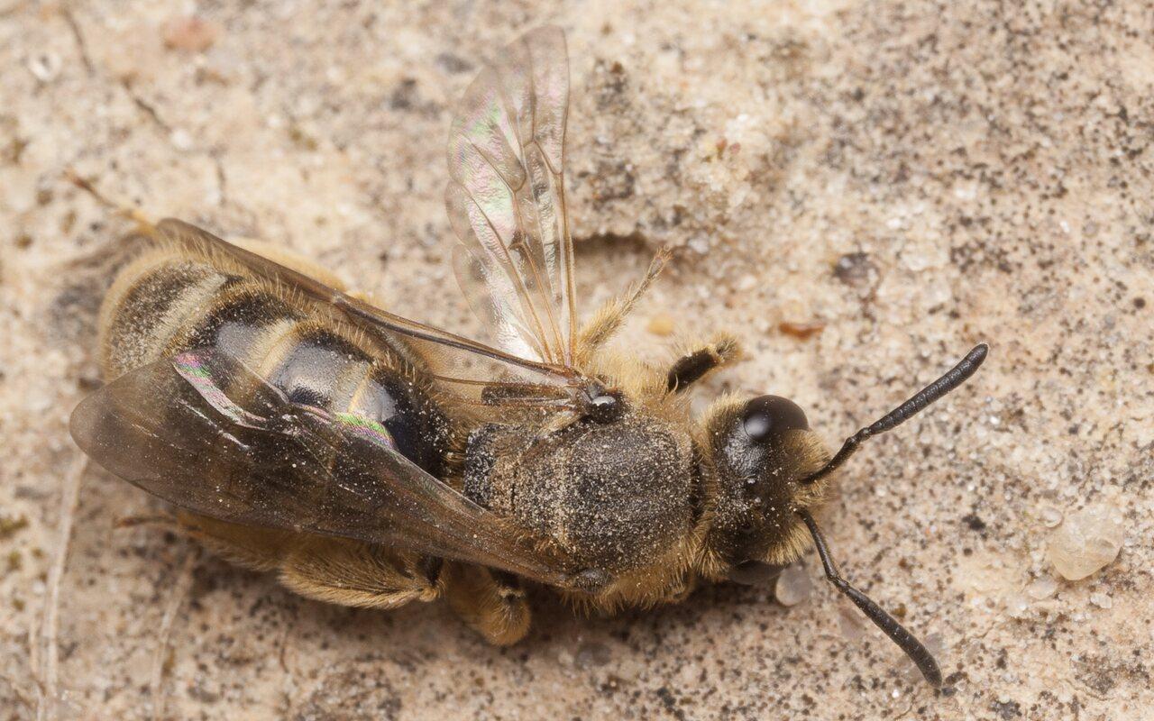 Apidae-2698.jpg