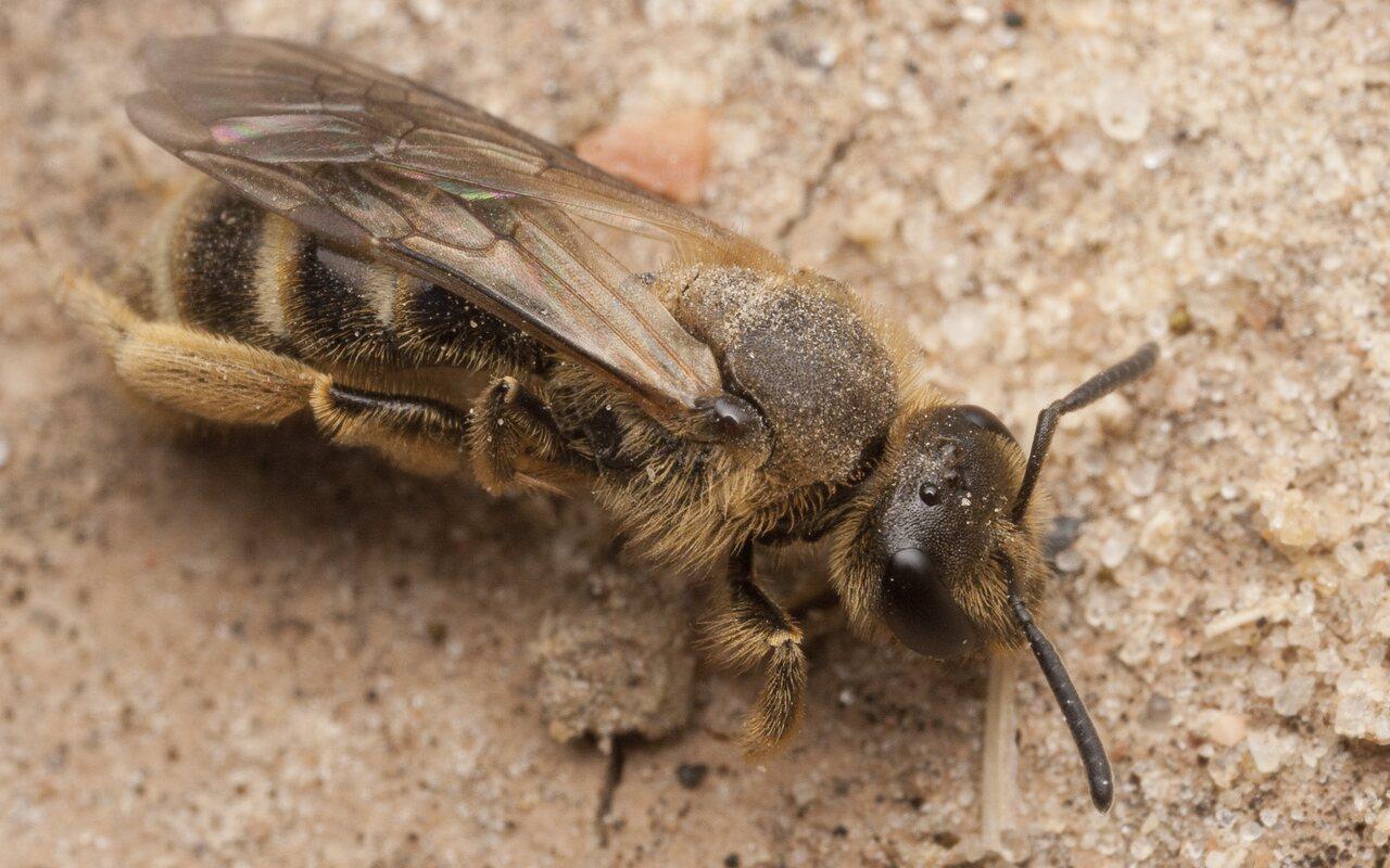 Apidae-2699.jpg