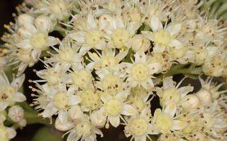 Hylotelephium telephium · tikroji vilkpupė