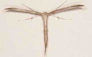 Emmelina monodactyla · vijoklinis pirštasparnis