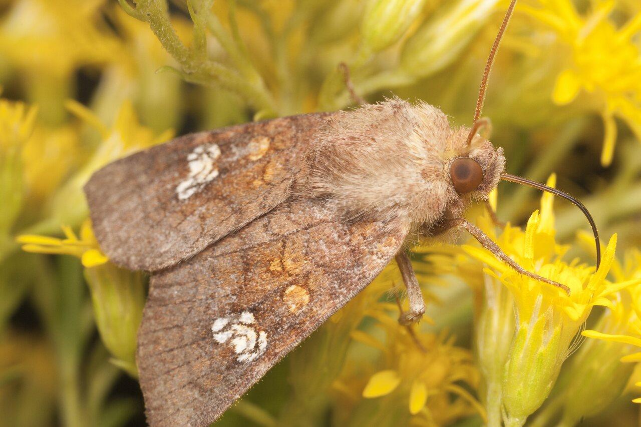 Amphipoea-oculea-2736.jpg