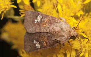 Amphipoea oculea · rausvasis stiebinukas