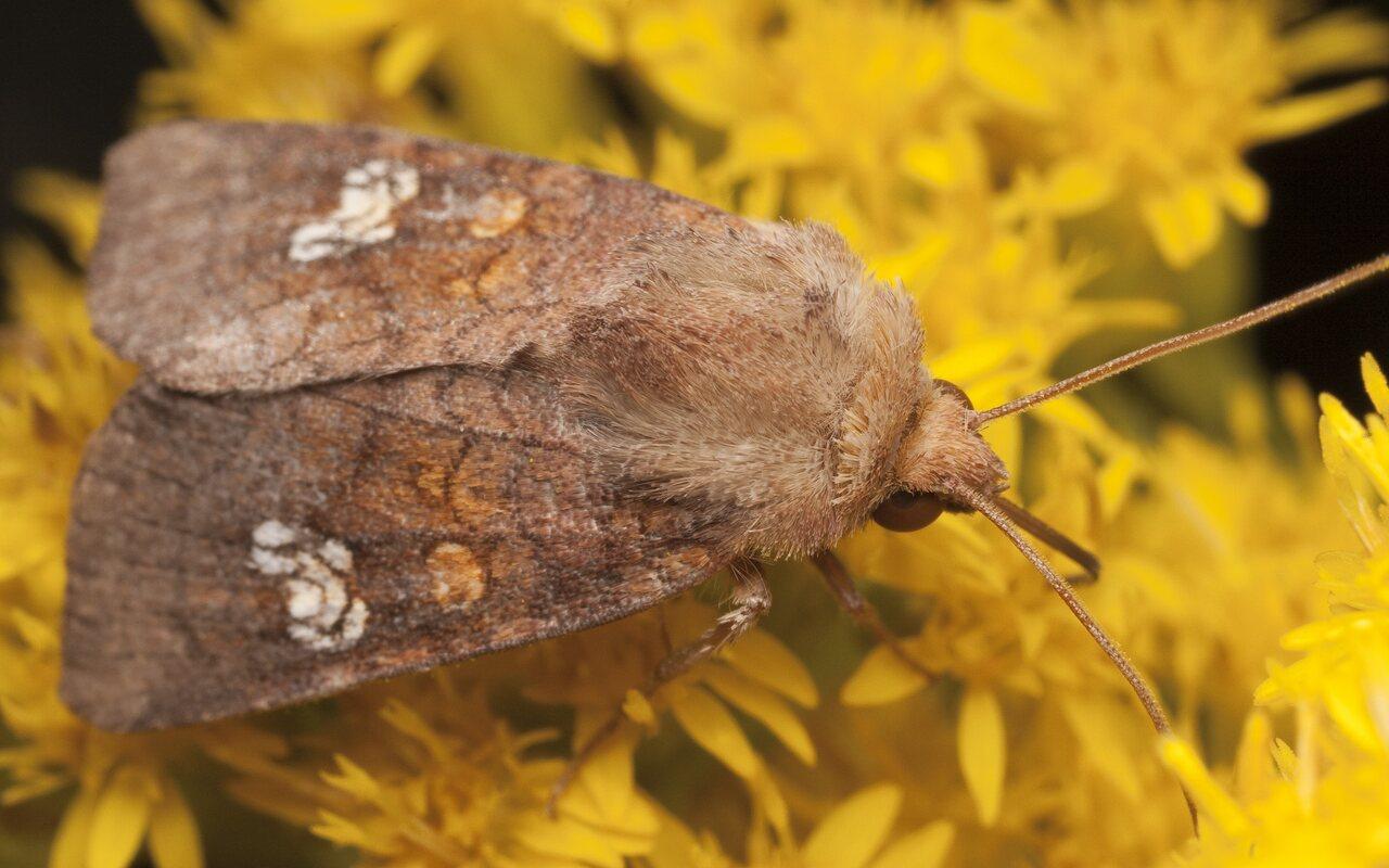 Amphipoea-oculea-2738.jpg