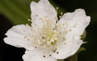 Rubus caesius flower · paprastoji gervuogė, žiedas