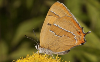 Thecla betulae · beržinis zefyras