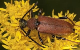 Stictoleptura rubra female · raudonasis žieduolis ♀