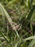 Phragmites australis · paprastoji nendrė