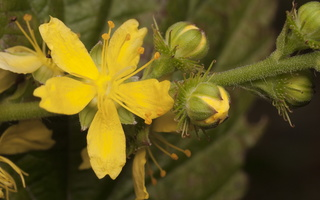 Agrimonia procera · kvapioji dirvuolė