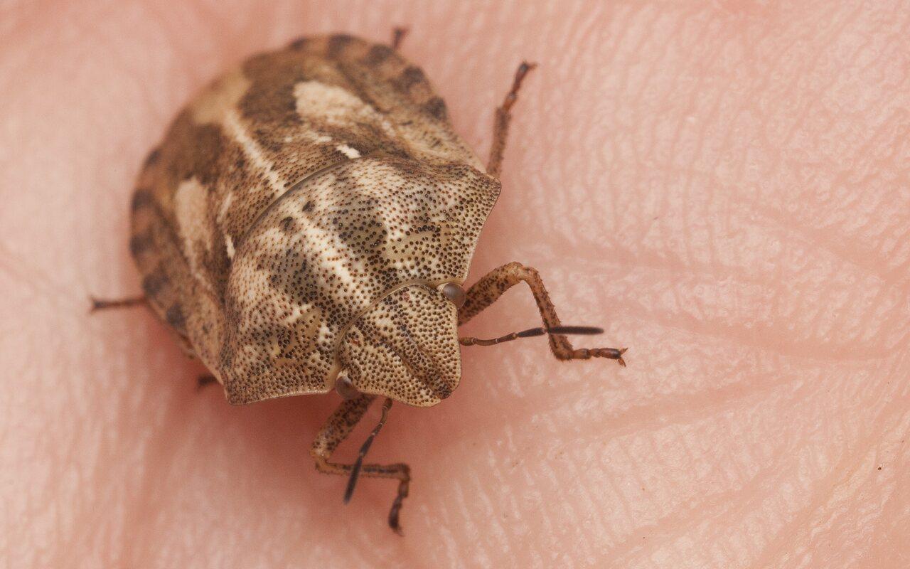 Eurygaster-testudinaria-2772.jpg