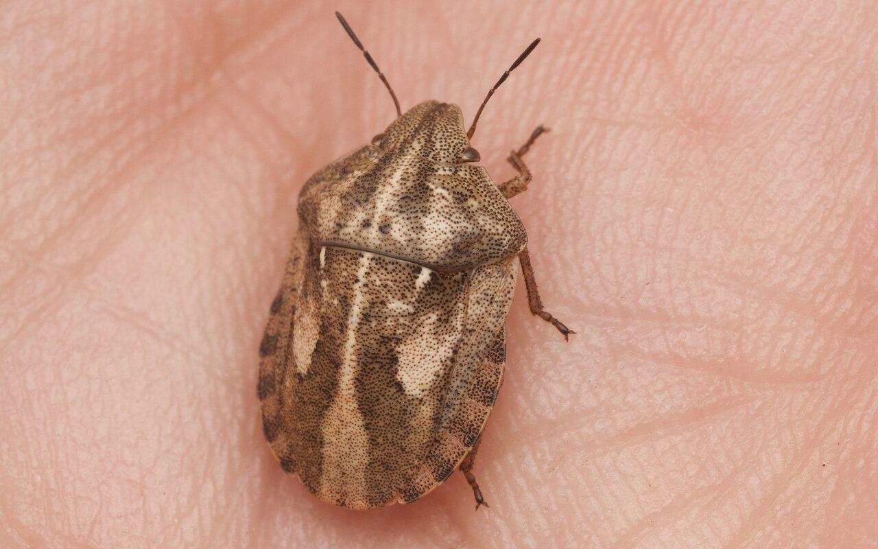 Eurygaster-testudinaria-2773.jpg