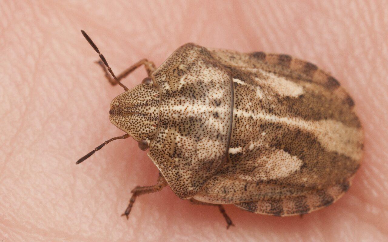 Eurygaster-testudinaria-2774.jpg