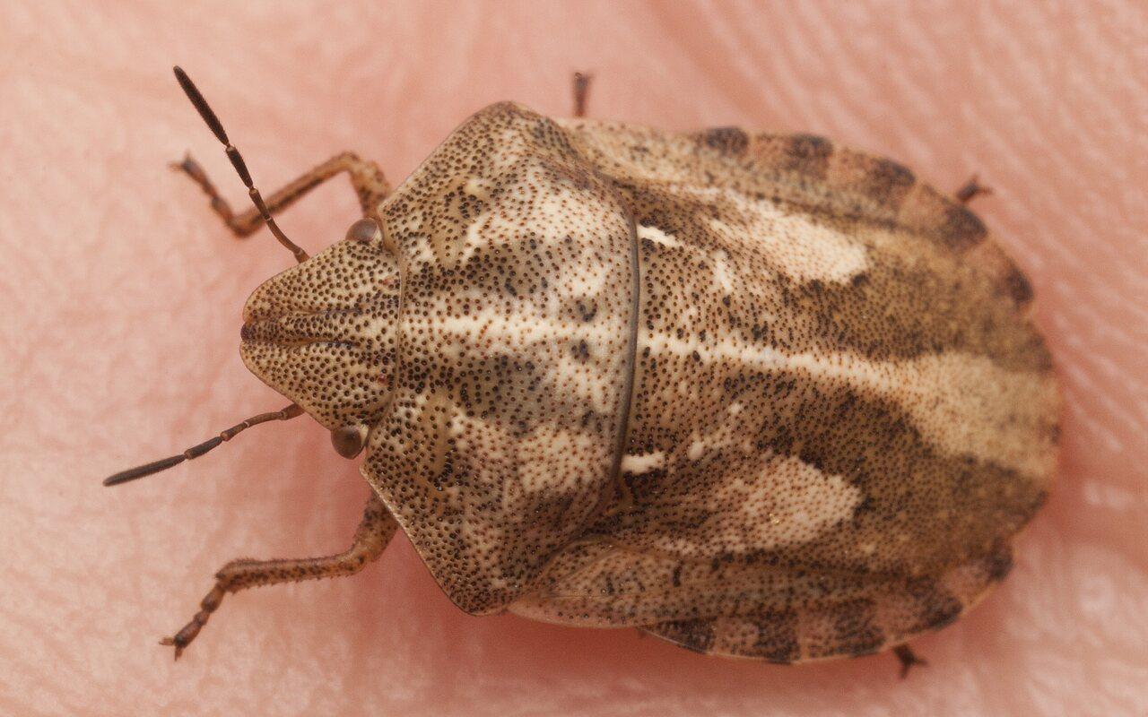 Eurygaster-testudinaria-2775.jpg