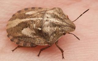 Eurygaster testudinaria · lenktagalvė vėžliablakė