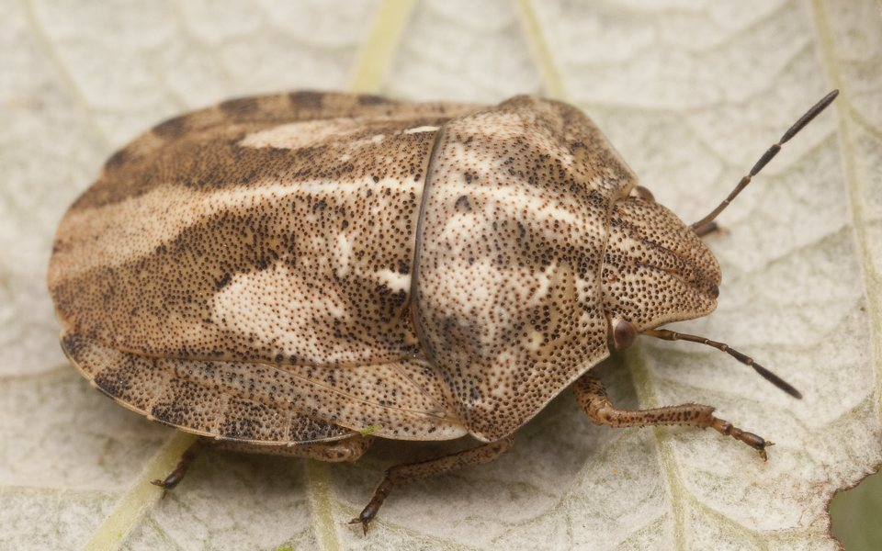 Eurygaster-testudinaria-2781.jpg