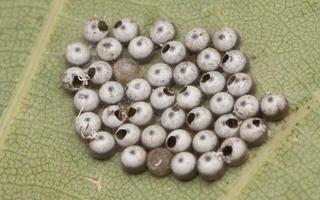 Lepidoptera eggs · drugys, kiaušinėliai